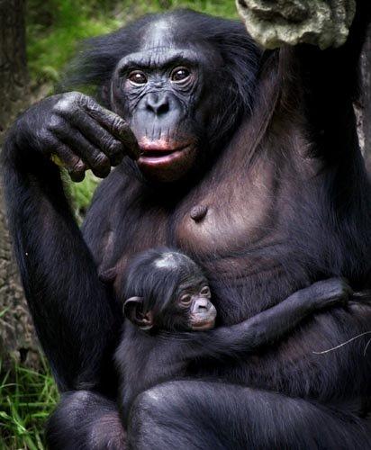 bonobo-picture